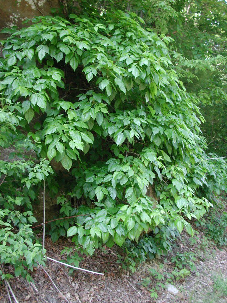 Poison_ivy-roadside