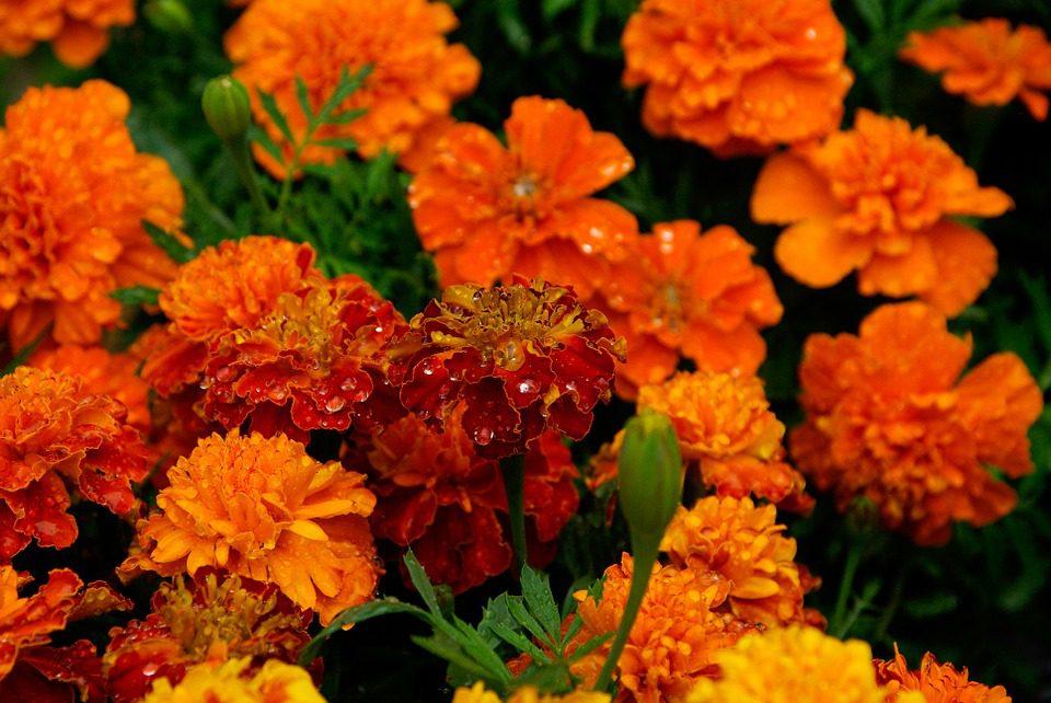 marigolds, garden